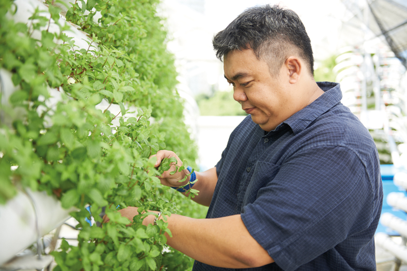Mr Lim inspects the growth of the mint plants.