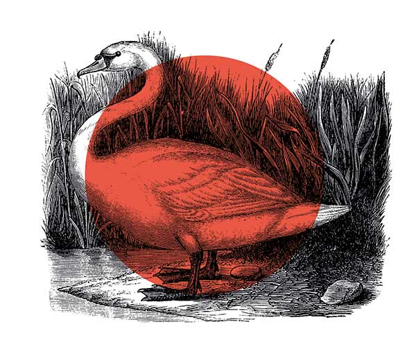 red-swan