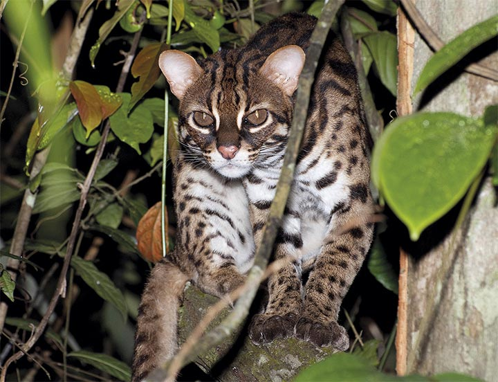 endangered-leopard-cat