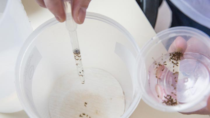 09-transferring-male-pupae-into-release-containers